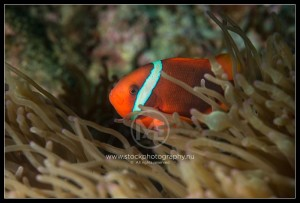 Clownfish - mphiprion ocellaris