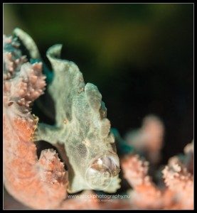 Green frogfish - antennarius commersoni