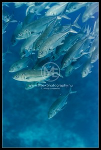 School of jack fish (trevally) - caranx sexfasciatus