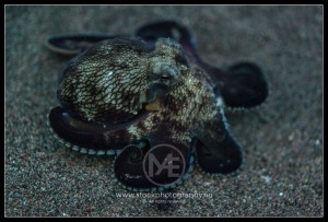 Blueveined octopus - octopus marginatu