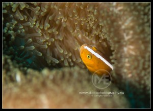 Orange skunk anemonefish - amphiprion sandaracinos