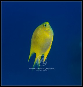 Golden damselfish - amblyglyphidodon aureus
