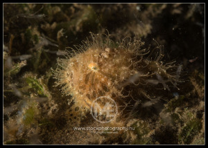 Hairy frogfish - antennarius striatus