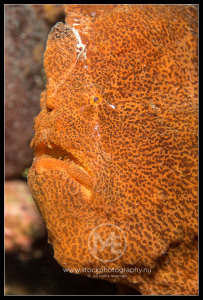 Giant frogfish - antennarius commersoni