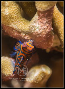 Mandarinfish - synchiropus splendidus