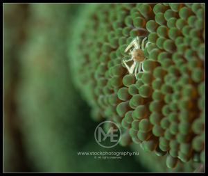 Porcelain crab - porcellanidae (baby)