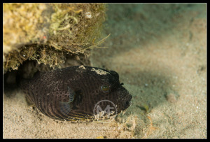 Black pufferfish - tetraodon nigroviridis