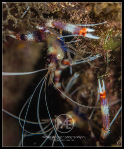 Banded coral shrimp - stenopus hispidus