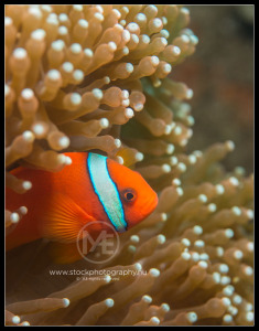 Clownfish - Clownfish - amphiprion ocellaris