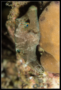 False-eye pufferfish - canthigaster papua