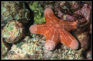 Granulated sea star - choriaster granulatus