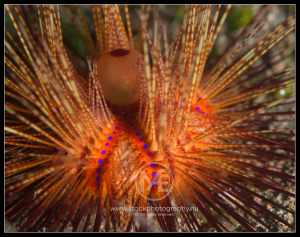 Blue-spotted sea urchin - astropyga radiata