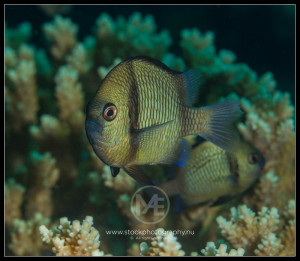 Chromis - chromis atropectoralis
