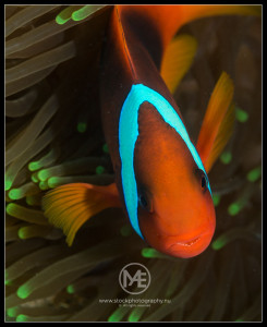 Clownfish - amphiprion ocellaris