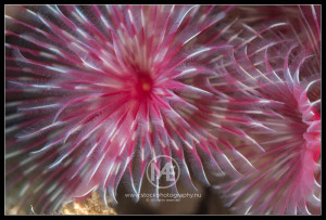 Feather duster tube worm - chone sp.