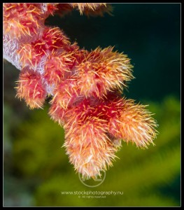 Carnation soft coral - dendronephthya