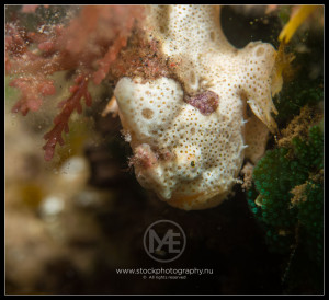 Painted frogfish - antennarius pictus