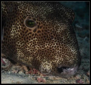 Star pufferfish - arothron stellatus