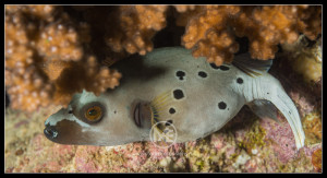 Black-spotted pufferfish - arothron negropunctatis