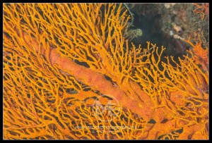 Gorgonian sea fan - gorgonacea
