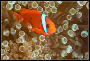 Tomato anemone fish - amphiprion frenatus