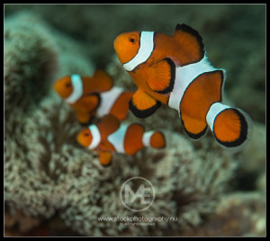 Clownfish - amphiprion perciformes