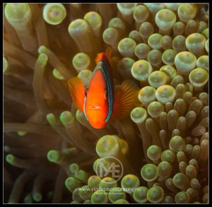 Tomato anemonefish - amphiprion frenatus