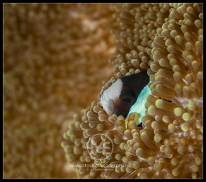 Clark's anemone fish - amphiprion clarkii
