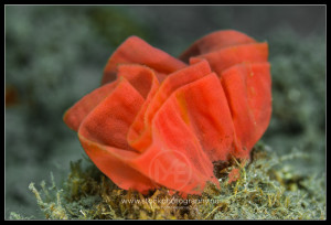 Egg ribbon of a spanish dancer nudibranch