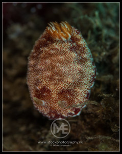 Nudibranch - chromodoris sp.