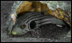 Narrow-lined pufferfish - arothron manilensis