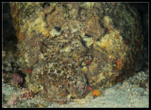 Reef stonefish - synanceia verrucosa