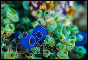 Blue tunicates - atriolum robustum