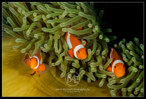 False clownfish - amphiprion ocellaris
