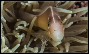 Pink anemonefish - amphiprion perideraion