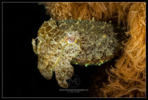 Cuttlefish - sepia latimanus