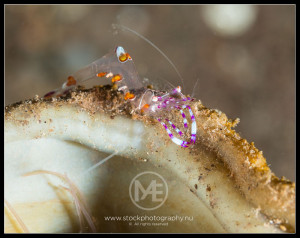 Glass anemone shrimp - periclimenes brevicarpalis