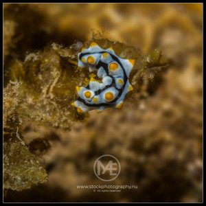 Nudibranch - phillidia varicosa