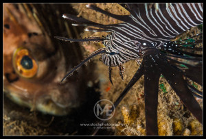 Lionfish and long-spine pufferfish - pterois volitans and diodon holocanthus