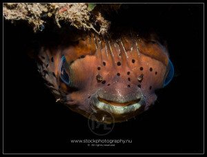 Long-spine pufferfish - diodon holocanthus