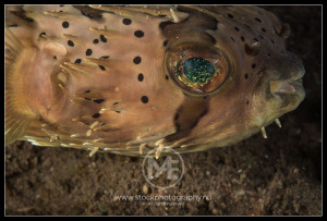 Long-spined pufferfish - diodon holocanthus