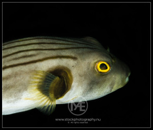 Lined pufferfish - arothron manilensis