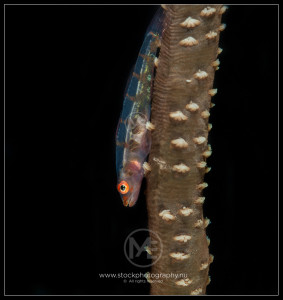 Whip coral goby - cirrhipathes bryaninops